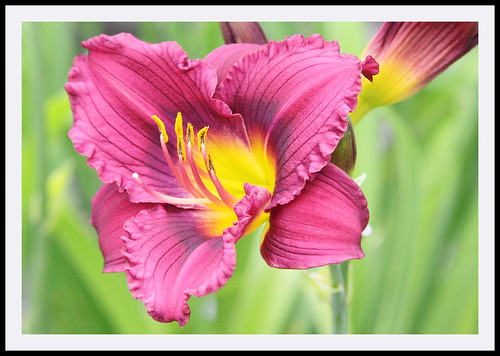 Airport Daylily | by Rascaille Rabbit