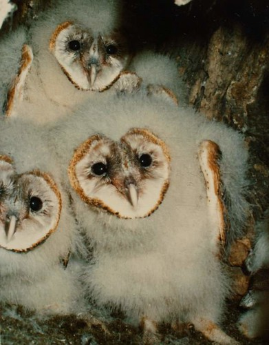 Young Barn Owls in Tree Nest (1981) | by Hunter-Desportes