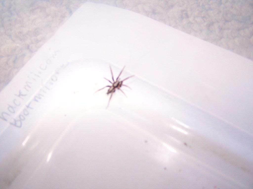 Parson Spider Minnesota The Parson Spider I Found On My Bi Flickr