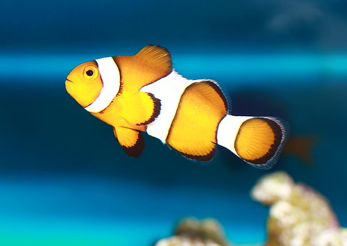No PP Sunday - I found nemo!!! | by Alindog Ng Baog
