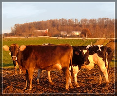 Displeased cows, Ohio countryside, near Columbus | by mysweetiepiepie
