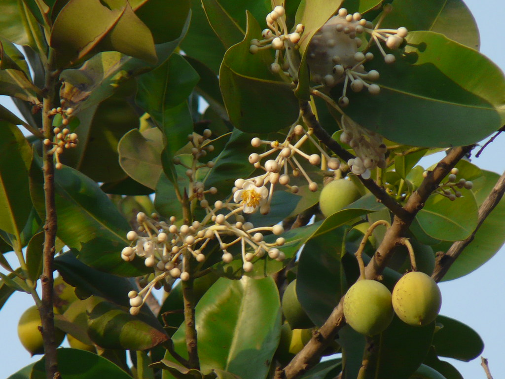 Punnaga Sanskrit Clusiaceae Garcinia Or Mangos