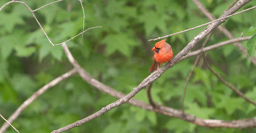 Virginia Cardinal in South Carolina | by @HandstandSam