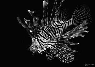 Black & White Lion Fish | by InShot Images