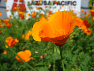 California Poppies | by sherjc