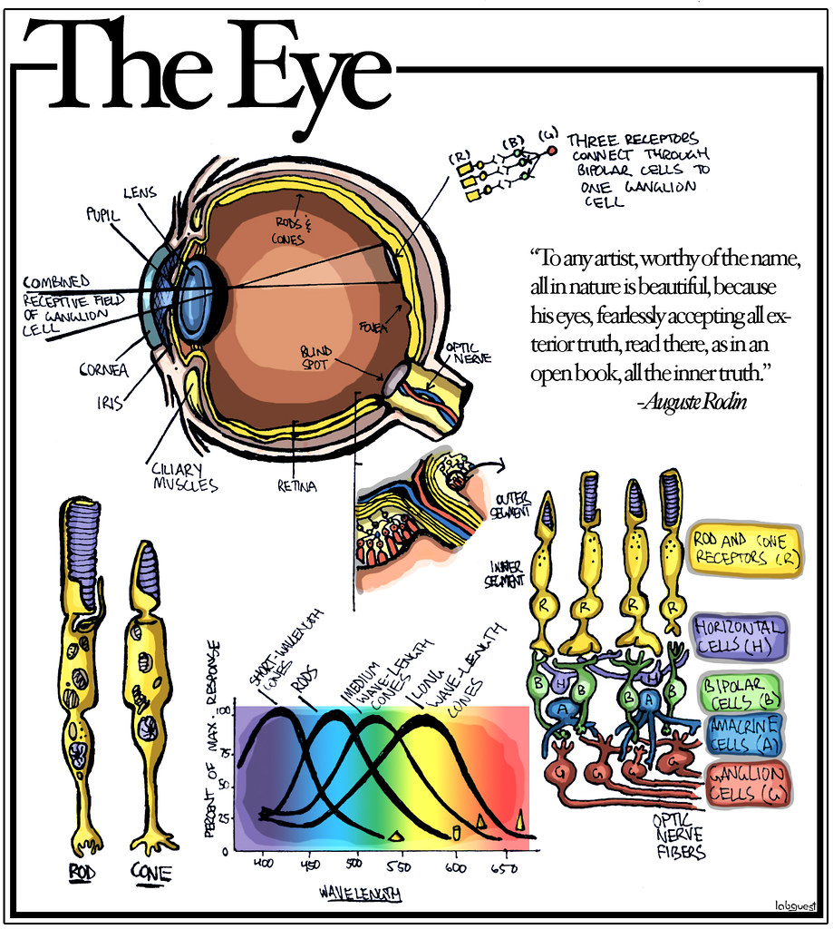 The Eye Diagram Of The Eye Rods Cones Different Types Of Flickr
