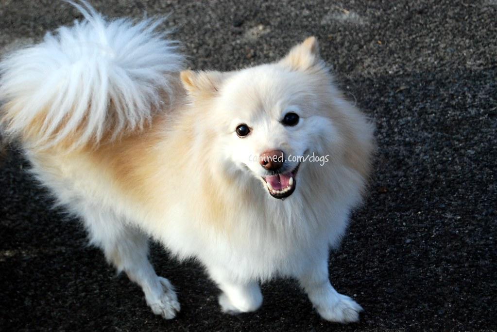 22909 Canined American Eskimo Pomeranian Hybrid Toy Dog Ce Flickr