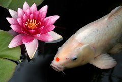 White Koi, Pink Lily | by Anthony Thomas [aka wabberjocky]