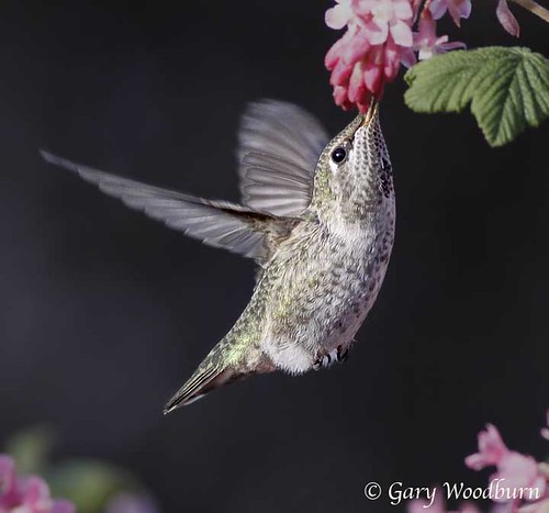 The Beauty of the Hummer | by FreeSpirit5