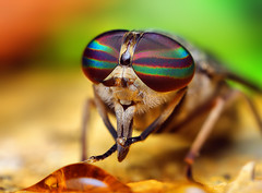 Female Tabanus Horse Fly | by Thomas Shahan
