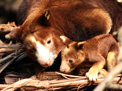 Huon Tree-kangaroo | by Standardwing