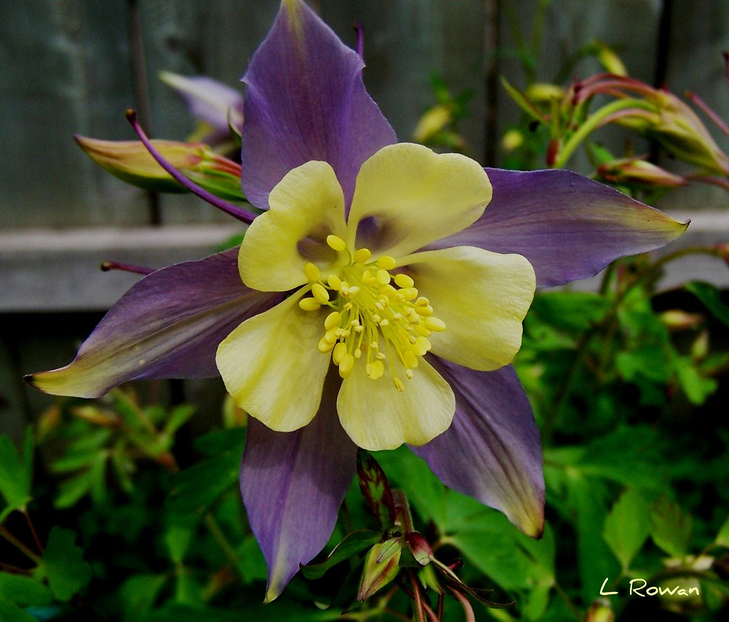 Columbine One Of The Many Varieties Of Colombine Coming Up Flickr