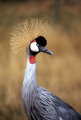 African Crowned Crane | by bearsgonebad