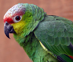 Ecuadorian Amazon Red-Lored  Parrot | by Steve Wilson - over 9 million views Thanks !!