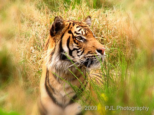 Sumatran Tiger | by Phil_LeCren