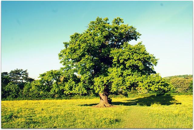Oak Tree in May