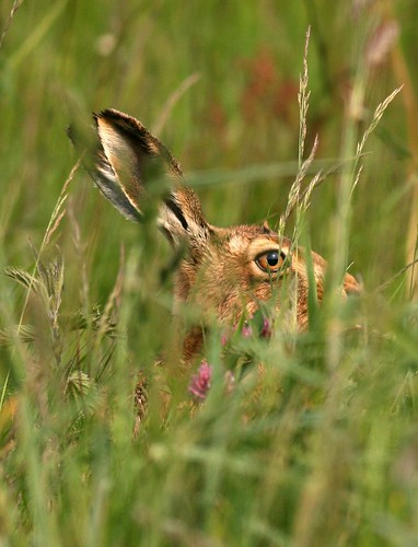 Hiding Hare | by jenny*jones