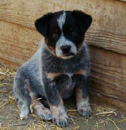 Australian Cattle Dog German Shepherd Mix Puppies