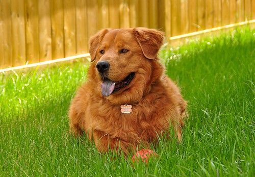 Morley: The Golden Retriever & Chow Chow Super Dog! | by Witty nickname