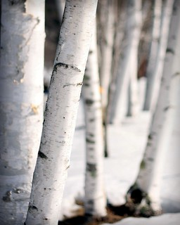 Birches in their Winter White | by joscelynb