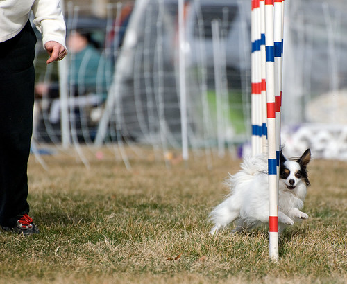 Dog Agility Training Santa Clara County