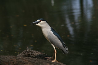 Pond Heron | by Suri JV (on and off)
