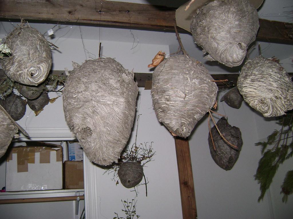 Aerial Yellow jacket nest (Dolichovespula Arenaria) 16