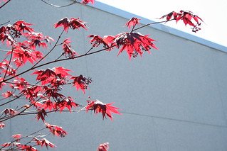 Red japanese maple | by turning*turning