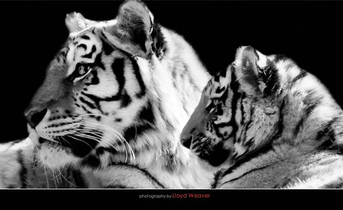 Tigers | by Weaver Photography