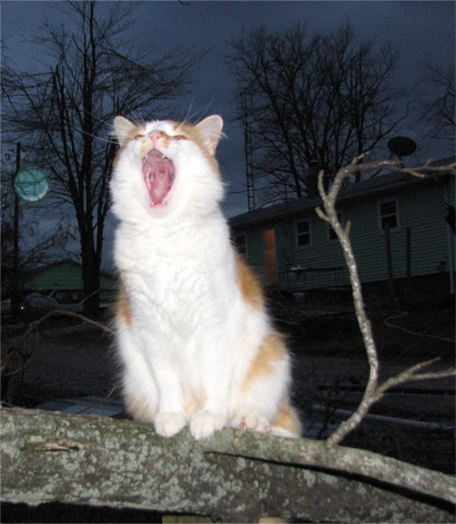 Cat Scruff Howling at the Moon | by Tbones Green Acres