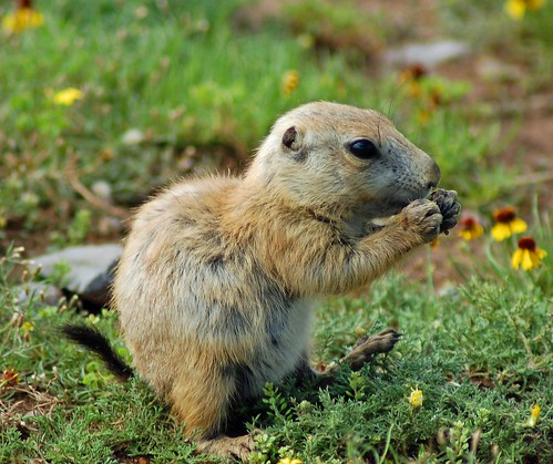 Baby Prairie Dog eating grass | Mike D | Flickr