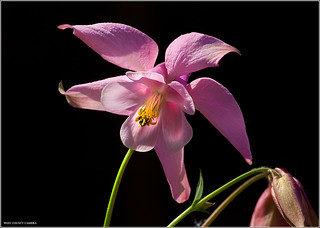 Columbine | by West County Camera
