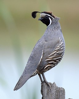 California Quail | by hearman