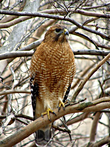 red tailed hawk | by evy2010