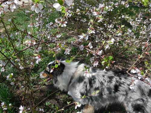 Nanking Cherry Bush