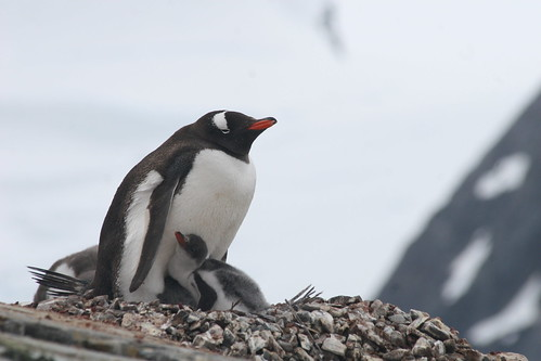 Mother penguin & chick | by chris.bryant