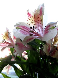 how to get rid of peruvian lily