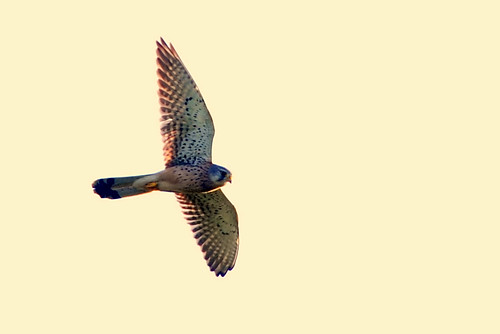 Kestrel | by Today is a good day