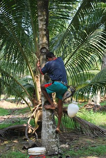 Toddy Tapping at Simpang Morib | by Tianyake
