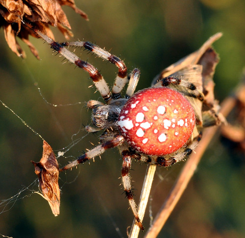 Orange spider-pumpkin-2-sept5-2009- Araneus trifolium | by le maudit