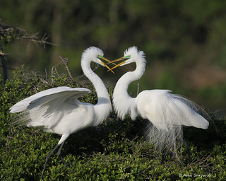 Great Egret pair | by bunnyfrogs