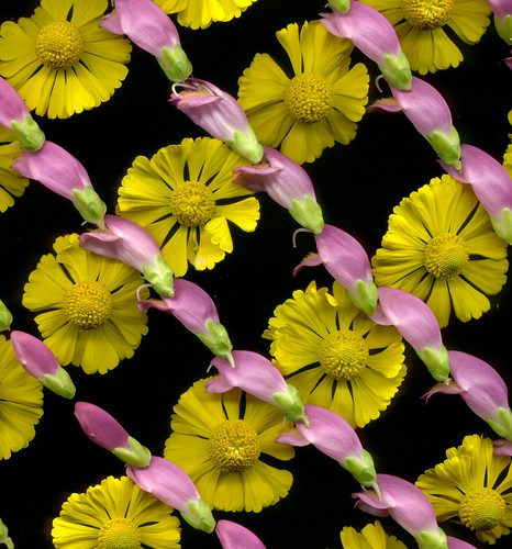 03796 Chelone and Helenium 450 | by horticultural art