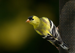 American Goldfinch | by Jerry Ting