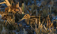 Snipe3 | by billofthebirds