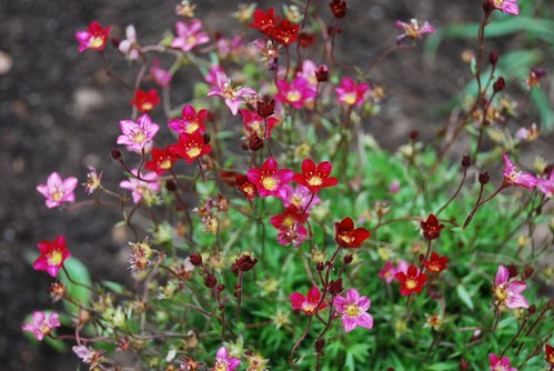 Saxifraga in the cottage garden | by A Storybook Life