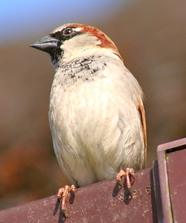 Male House Sparrow (Passer Domesticus) | by foxypar4