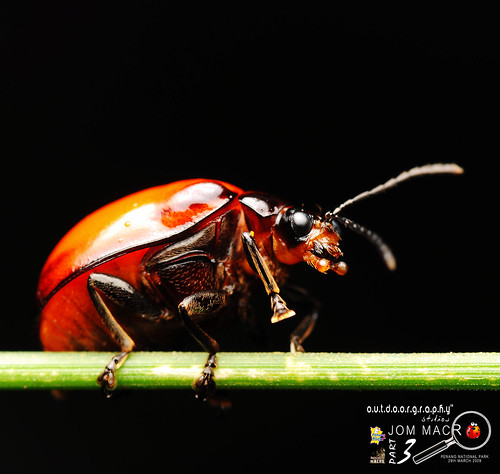 Jom Macro III : Red Beetle | by Sir Mart Outdoorgraphy™