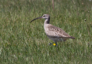 Whimbrel | by Laura Erickson