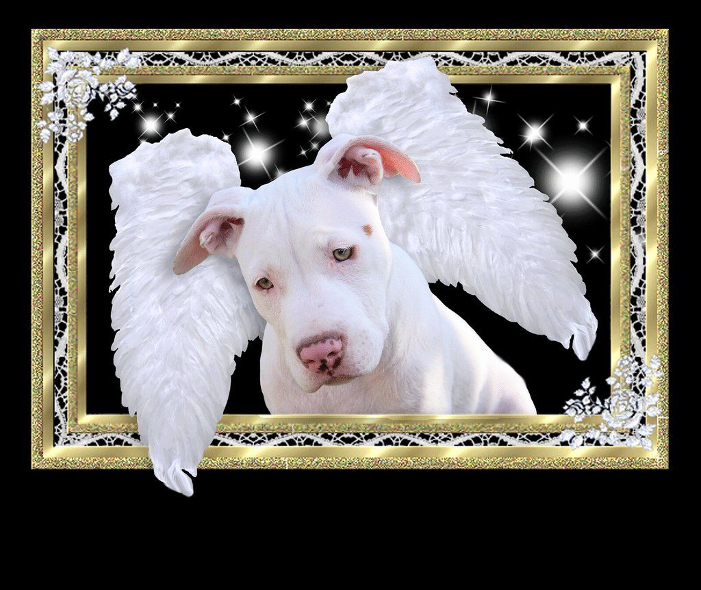 Staffordshire Framed White Puppy Dog Angel With Wings Luna American Pit Bull Terrier