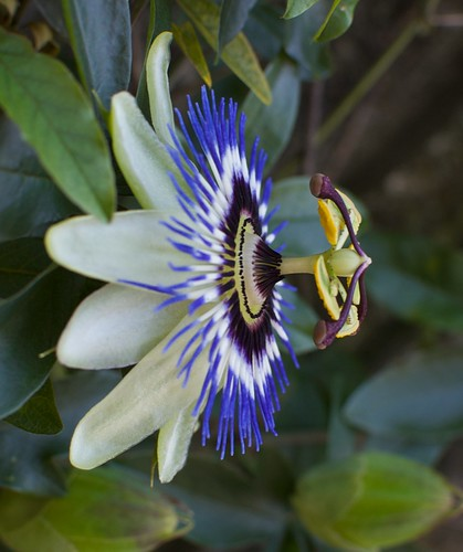 passion flower | by julesberry2001